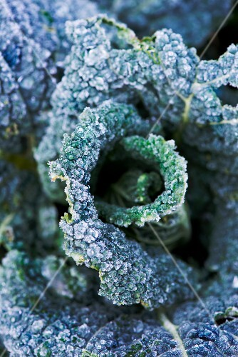 Savoy cabbage leaves covered with frost