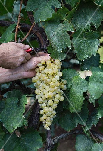 White wine grapes being cut from a vine