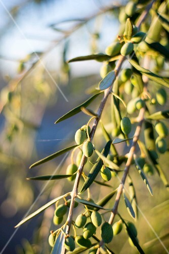 Olives on a sprig