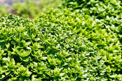 Basil growing outside (Ocimum Basilicum)