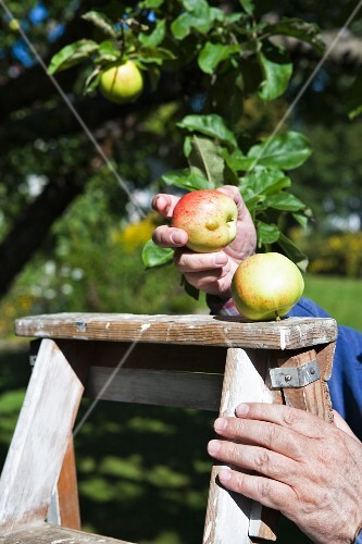 A hand holding apples on a ladder