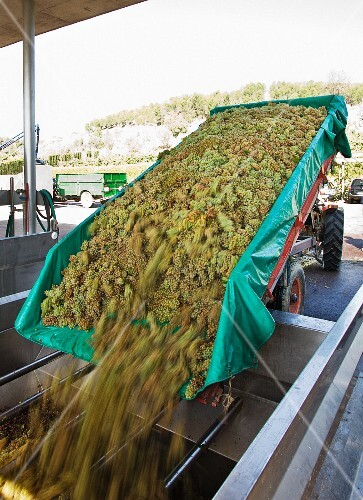 Tipping grapes into the press