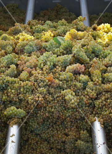 Grapes in press