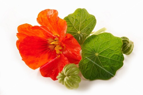 Nasturtium flowers and seed pods