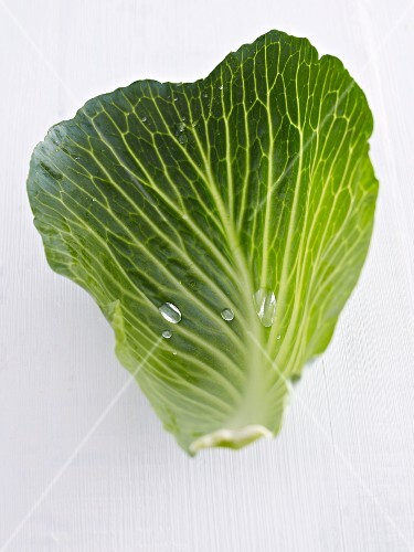 A wet white cabbage leaf