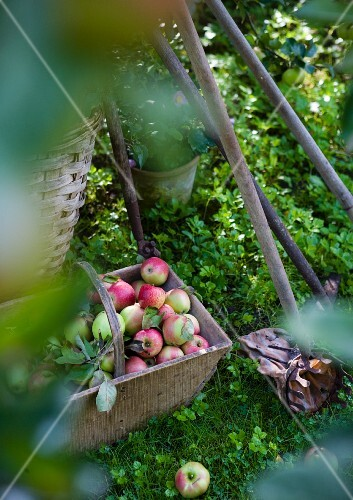 Basket with apples next to a fruit picker in the grass
