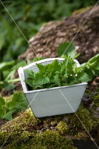 Stinging nettles in a wooden box in a forest