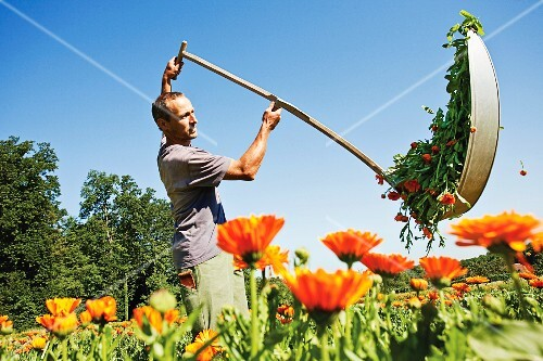 A farmer cutting marigolds with a scythe