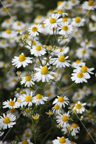 Blooming chamomile