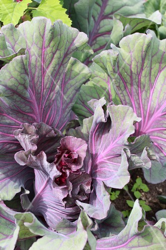 Cabbage plants in a vegetable patch