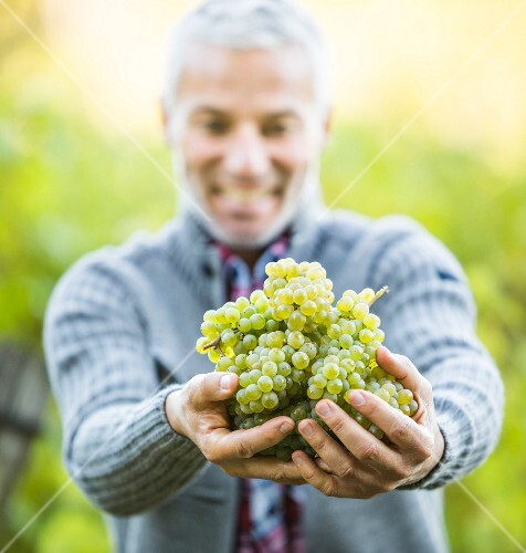 An older man holding freshly picked grapes