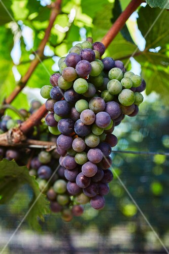 Grapes changing colour on a vine