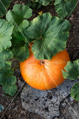 An orange pumpkin in a vegetable patch (seen from above)