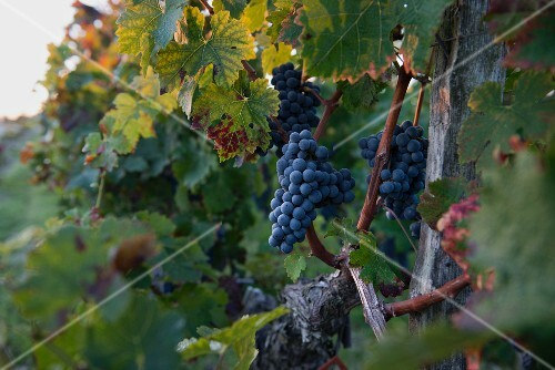 Ripe Cabernet-Sauvignon grapes on an old vine