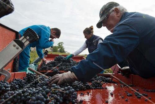 Grape harvest at Lafite Rothschild, outside sorting tables