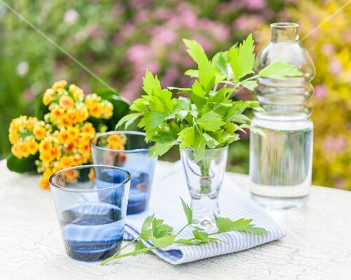 Lovage in a glass of water on a garden table