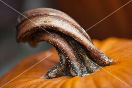 A stem of a pumpkin (detail)