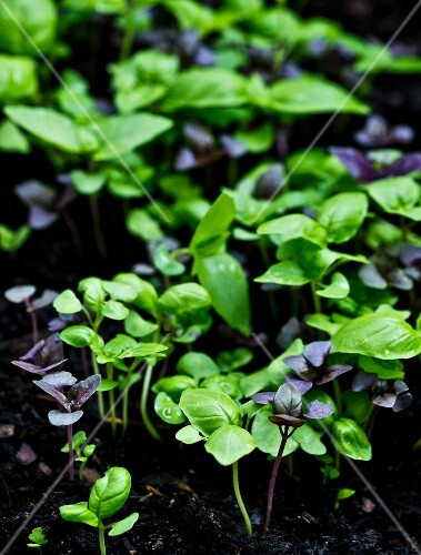 Young purple and green basil