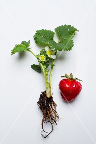 A strawberry plant and a strawberry on a white surface