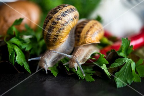 Two snails moving on parsley