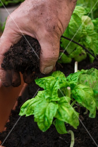 Basil plants being planted in the ground