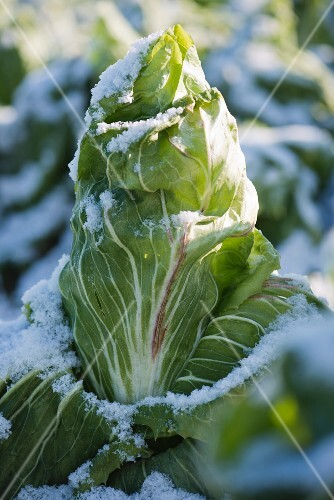 Sugarloaf chicory after frost and snow