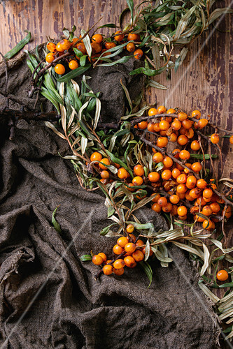 Ripe sea buckthorn berries on a branch with leaves