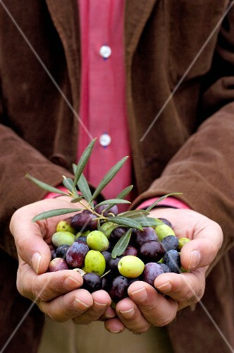 Hands presenting freshly harvested olives