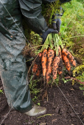 Carrots being harvested: a farmer with freshly dug carrots on a field