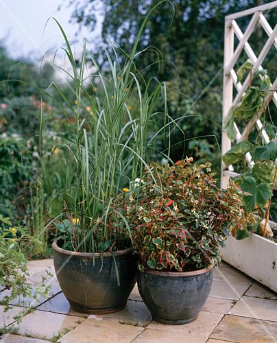 houttuynia cordata miscanthus sinensis bild kaufen friedrich strauss gartenbildagentur. Black Bedroom Furniture Sets. Home Design Ideas