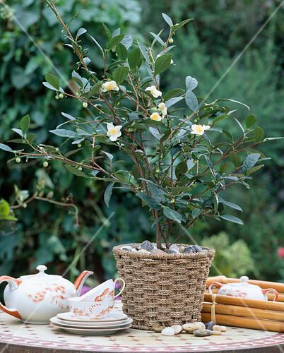 camellia sinensis teestrauch bild kaufen friedrich. Black Bedroom Furniture Sets. Home Design Ideas