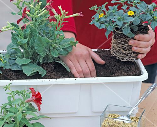blumenkasten bepflanzen 3 6 bild kaufen friedrich strauss gartenbildagentur. Black Bedroom Furniture Sets. Home Design Ideas