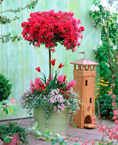 rhododendron toreador stamm japanische azalee bild. Black Bedroom Furniture Sets. Home Design Ideas