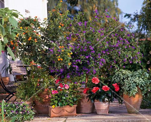 lantana hybr solanum rantonetii hibiscus bild kaufen friedrich strauss gartenbildagentur. Black Bedroom Furniture Sets. Home Design Ideas