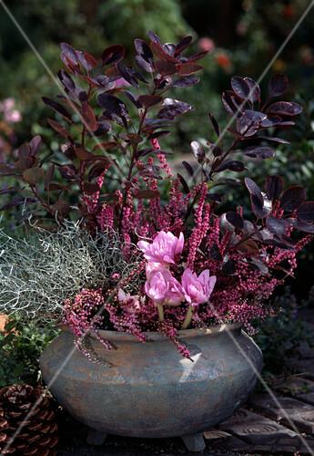 calluna vulgaris colchicum autumnale calocephalus bild kaufen friedrich strauss. Black Bedroom Furniture Sets. Home Design Ideas