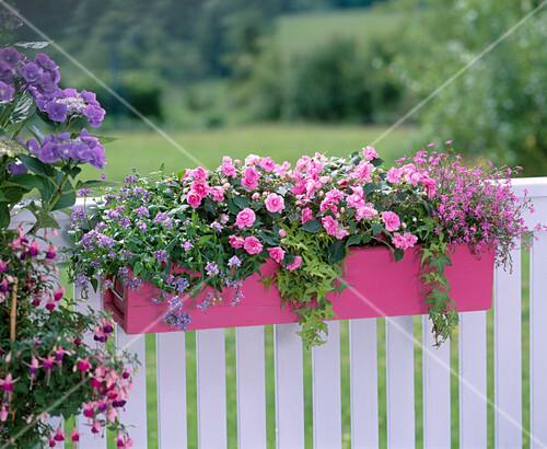 impatiens wall heartbeat hot pink fleissige lieschen. Black Bedroom Furniture Sets. Home Design Ideas
