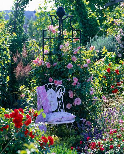 rosa kir royal kletterrose fterbl hend zarter duft. Black Bedroom Furniture Sets. Home Design Ideas