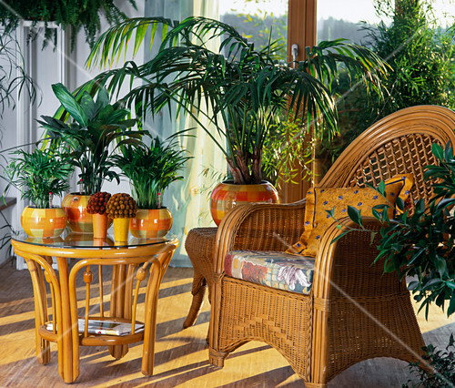 palmen in hydrokultur chamaedorea elegans bergpalme und. Black Bedroom Furniture Sets. Home Design Ideas