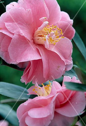 camellia japonica dazle bild kaufen friedrich. Black Bedroom Furniture Sets. Home Design Ideas