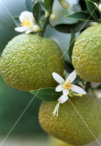 Citrus myrtifolia bild kaufen 12215926 stockfood for Citrus myrtifolia