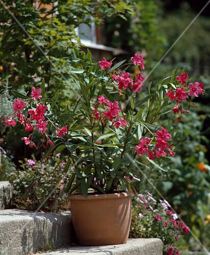 nerium oleander papa gambetta bild kaufen friedrich. Black Bedroom Furniture Sets. Home Design Ideas