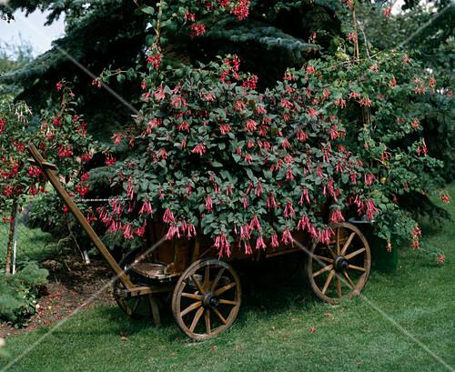 leiterwagen mit fuchsien bepfl bild kaufen friedrich. Black Bedroom Furniture Sets. Home Design Ideas
