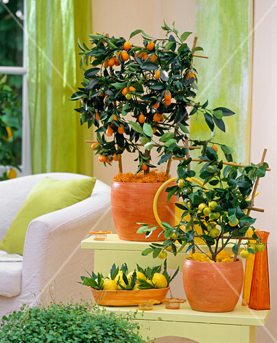 fortunella japonica kumquat citrus mitis bitterorange bild kaufen friedrich strauss. Black Bedroom Furniture Sets. Home Design Ideas