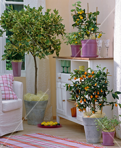 fortunella japonica kumquat citrus mitis bitterorange citrus bild kaufen friedrich. Black Bedroom Furniture Sets. Home Design Ideas