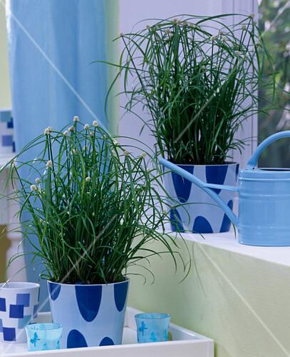 cyperus kyllinga alba zyperngras mit auff lligen bl ten in bild kaufen friedrich strauss. Black Bedroom Furniture Sets. Home Design Ideas