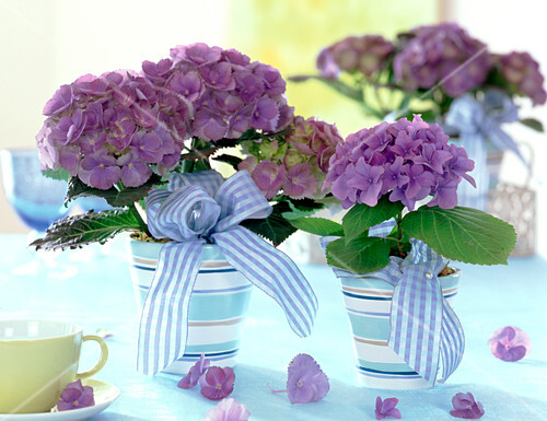 hydrangea macrophylla blaue hortensien in ringelt pfen mit blau bild kaufen friedrich. Black Bedroom Furniture Sets. Home Design Ideas