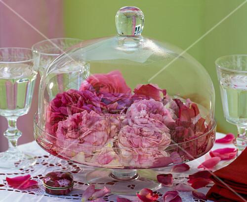 rosa bl ten von historischen rosen unter glasglocke. Black Bedroom Furniture Sets. Home Design Ideas