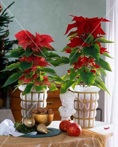 euphorbia pulcherrima weihnachtsstern als pyramide bild. Black Bedroom Furniture Sets. Home Design Ideas