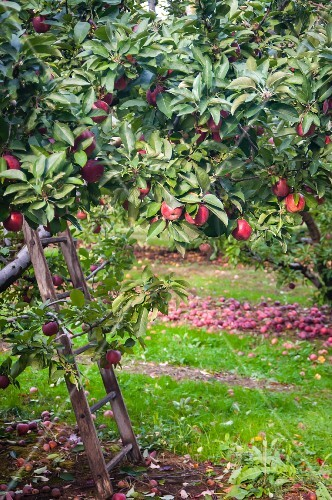 A View of Apple Trees in an Apple Orchard