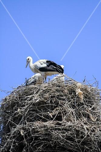 storks nesting bild kaufen science photo library. Black Bedroom Furniture Sets. Home Design Ideas
